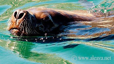lobo marino nadando en las aguas de Península Valdés