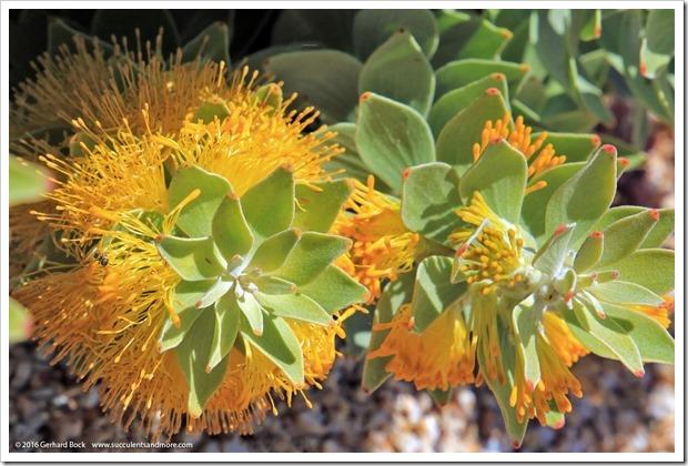 160813_UCSC_Arboretum_Mimetes-chrysanthus_002