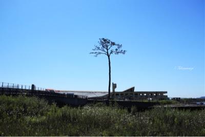 岩手県陸前高田市 奇跡の一本杉