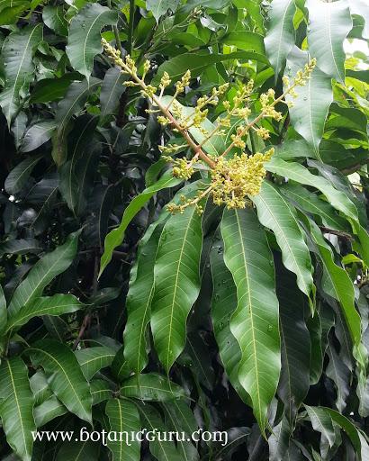Mangifera indica, Mango leaves