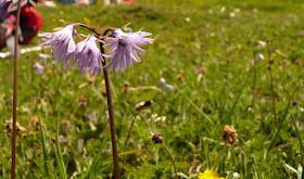 soldanelle.des Alpes Soldanella alpina PrimulaceesJPG.JPG