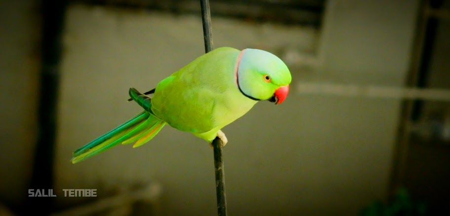 Red Ringed Parakeet in Mumbai