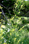 Yellow sweet clover.