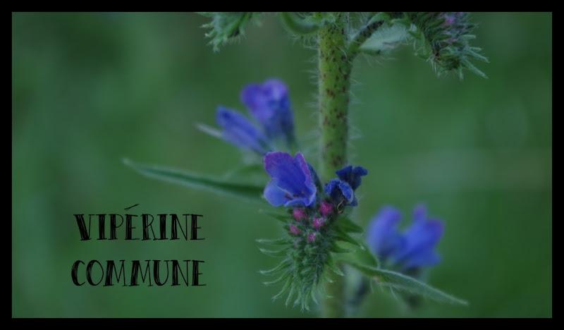 vipérine viperine fleur bleue