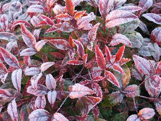 Heavy Frost on the Dwarf Purple Nandinas