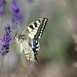 Papilio machaon L., 1758. Plateau de Coupon, 520 m, Saint-Martin-de-Castillon (Vaucluse), 24 juin 2015. Photo : J.-M. Gayman