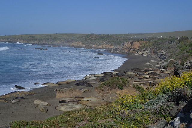 elephant seals along the side of the road