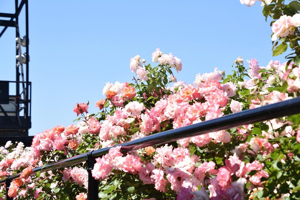 [roses_lawn-25]