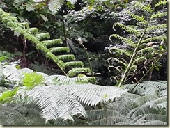 20151228_fiddleheads on giant tree fern (Small)