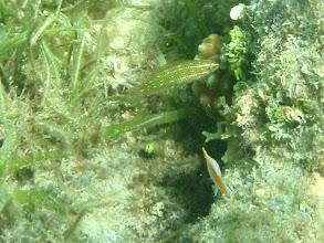 Photo: Unidentified Green Wrasse found around sea grass, Siquijor Island, Philippines
