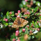 Noctuidae : Catocalinae : Euclidia glyphica (LINNAEUS, 1758). Les Hautes-Lisières (Rouvres, 28), 25 mai 2012. Photo : J.-M. Gayman