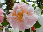 明桃色地 白斑ぼかし 牡丹咲き 大〜極大輪