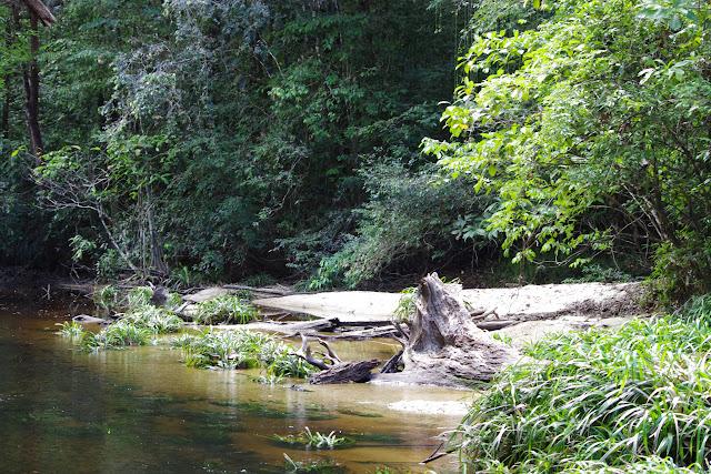 Crique Anguille : lieu de passage de Morpho menelaus. Bagne des Annamites, 19 novembre 2012. Photo : J.-M. Gayman