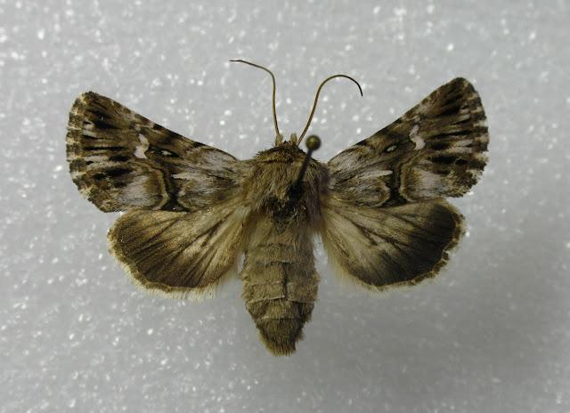 Noctuidae : Cuculliinae : Calophasia lunula HUFNAGEL, 1766. Femelle ex-larva, X. Mérit cult., Palaiseau (91), 7-8 juillet 2010. Photo : X. Mérit.