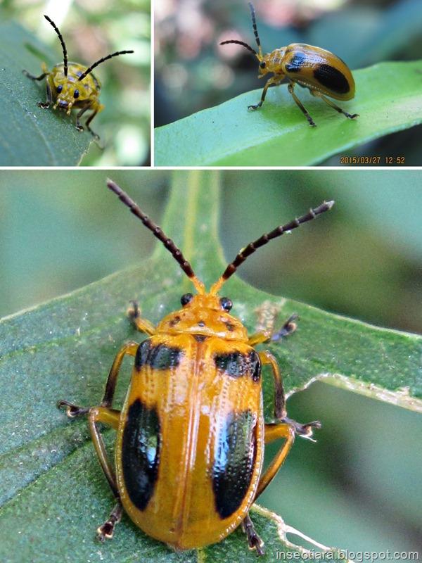 Kumbang daun: Aulacophora sp.