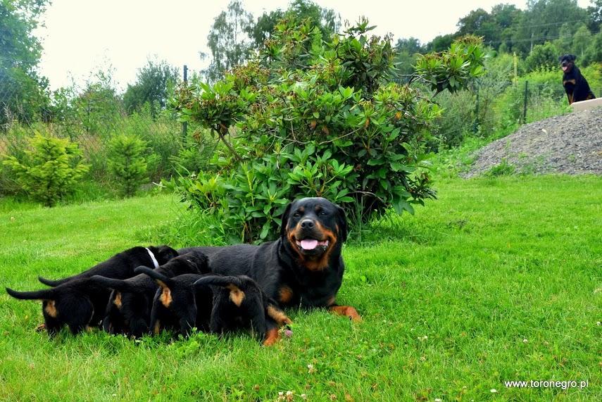 Szczeniaki rottweiler z mama cierpliwą