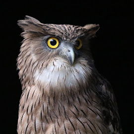 Brown Fish Owl.  by Biswarup Mandal - Animals Birds ( big, fish eater, owl, big eyes, bird photography, bird, angry, nocturnal bird, fear )