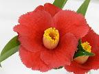 紅色 一重咲き 弁端は鋸歯状 筒しべ 小輪