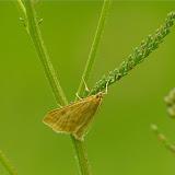 Crambidae : Pyraustinae : Udea prunalis ([DENIS & SCHIFFERMÜLLER], 1775) (?). Les Hautes-Lisières (Rouvres, 28), 19 juin 2011. Photo : J.-M. Gayman