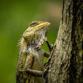 Smile for the Camera! by Shivaang Sharma - Novices Only Wildlife ( cham, nature, tree, wildlife, india, reptile, chameleon, animal )