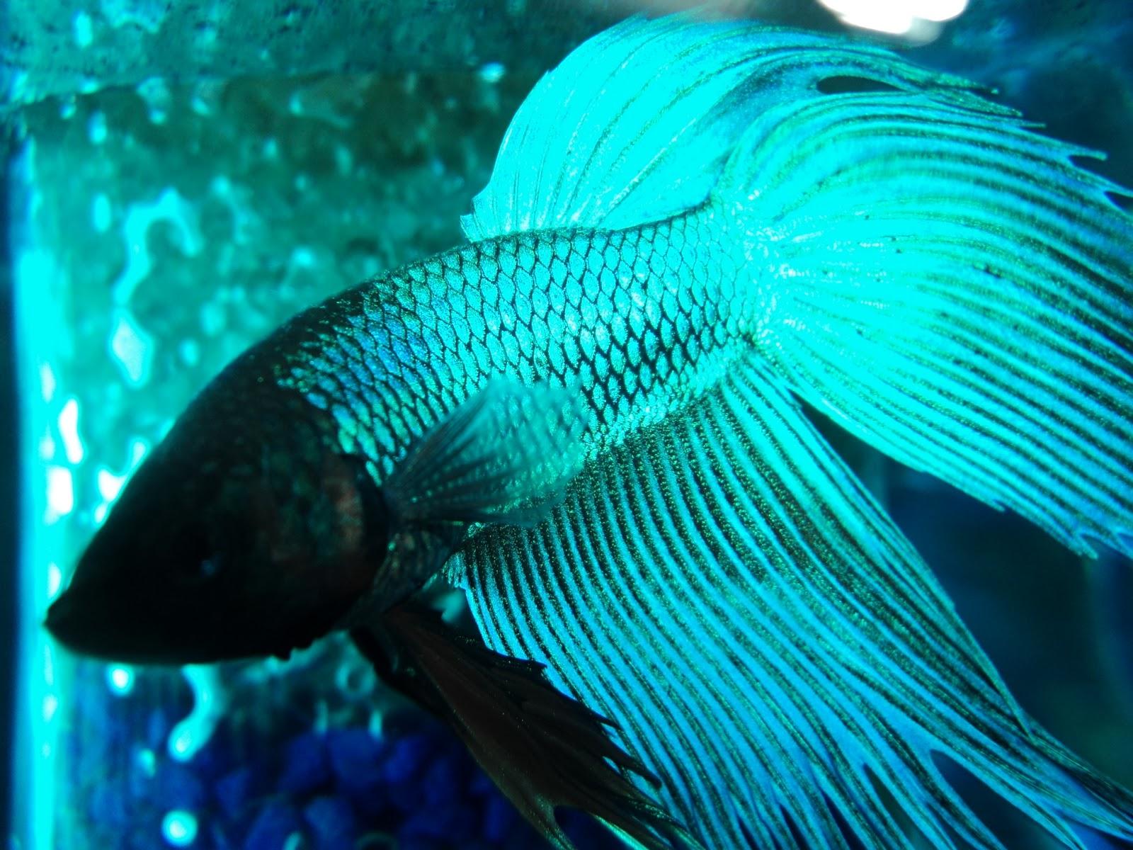 El pez betta el pez betta for Pozos para peces