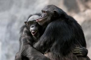 pola hubungan seks simpanse