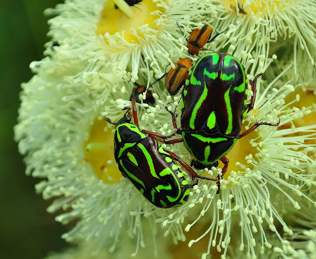 Scarabaeidae : Cetoniinae : Eupoecila australasiae DONOVAN, 1805. Mount Kuring-gai, New South Wales (Australie), 25 novembre 2009. Photo : Barbara Kedzierski