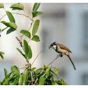 Pycnonotus jocosus 紅耳鵯