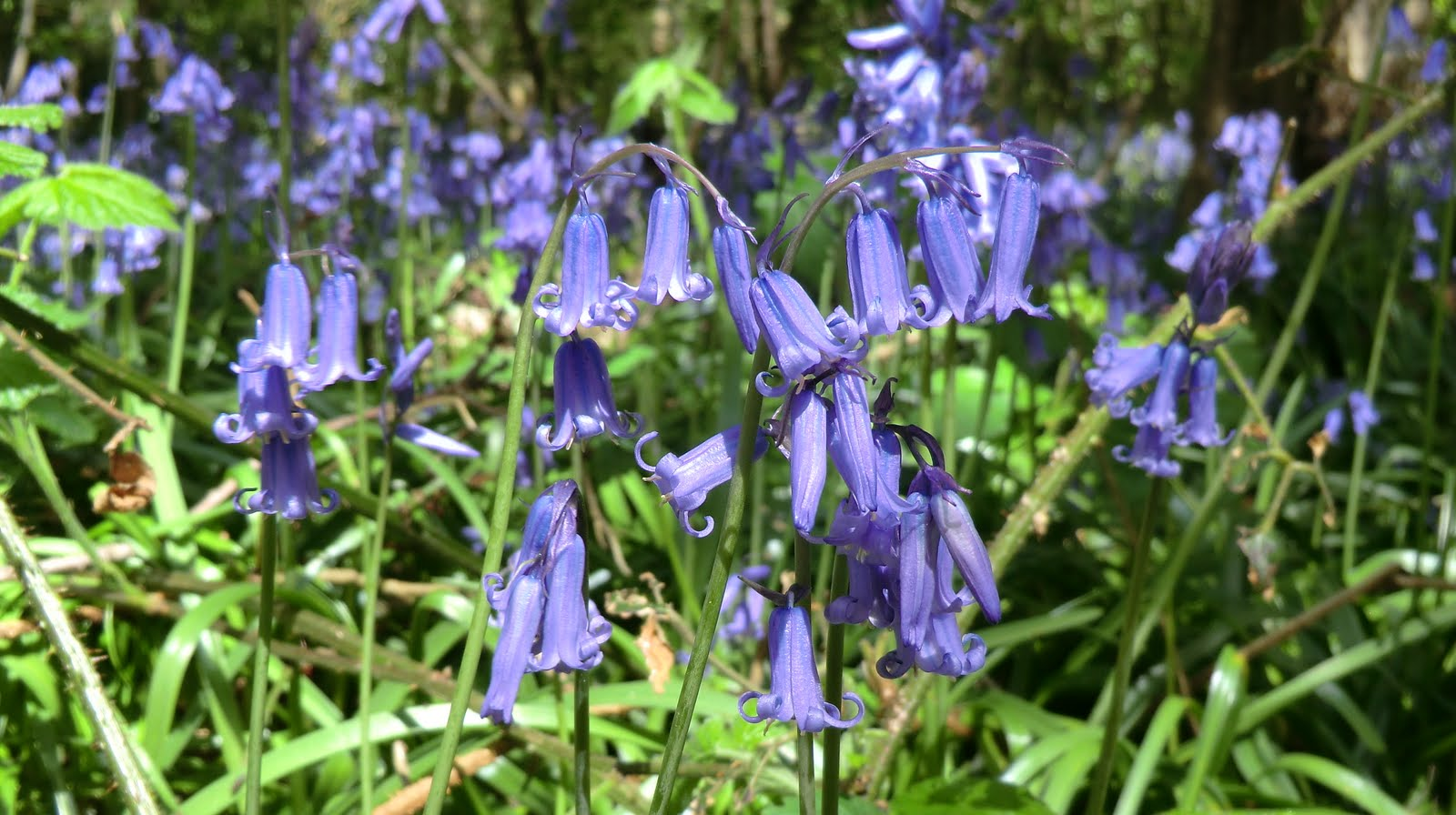 CIMG6409 Bluebells, Kings Wood