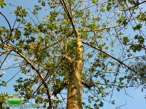 pokok kekabu