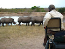 We were in these open air vehicles too, so some of those encounters (like the big rhino coming straight at us) were a bit scary. The other 3-4 rhinos tried to escape when the big old male wasn't looking but he caught them and it was a long time before they got away again.