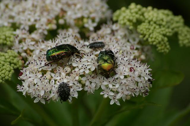 Cetonia aurata L., 1758 et Oxythyrea funesta PODA, 1761. Les Hautes-Lisières (Rouvres, 28), 12 juin 2011. Photo : J.-M. Gayman
