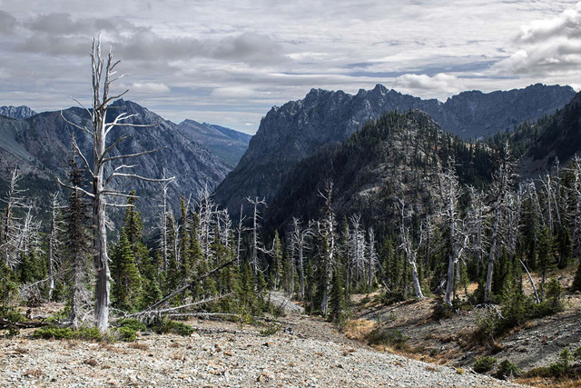 Dead whitebark pines stand stark near Esmeralda Basin in Washington. These types of pines are susceptible to blister rust, bark beetles and the unintended consequences of fire suppression. Photo: Richard Droker / CC Flickr