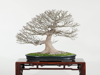 Bonsai Nursery In Dallas, TX With Reviews   YP.com