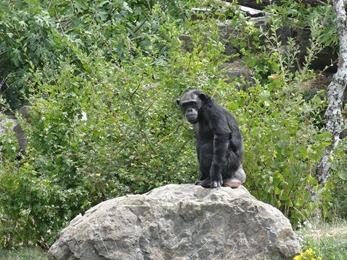 2018.08.25-001 chimpanzé (12h52)