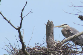 Heron Colony at Libby Hill-020.JPG