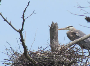 Heron Colony at Libby Hill-020.JPG