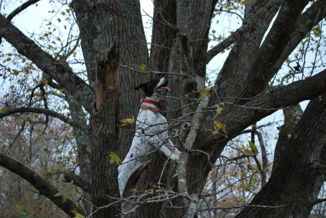 Fall 2012 - Treed2.jpg