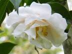 移り白〜淡桃色 牡丹咲き 散りしべ 大輪