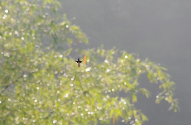 Colibri matinal. Les Carbets de Coralie (Crique Yaoni), 2 novembre 2012. Photo : J.-M. Gayman