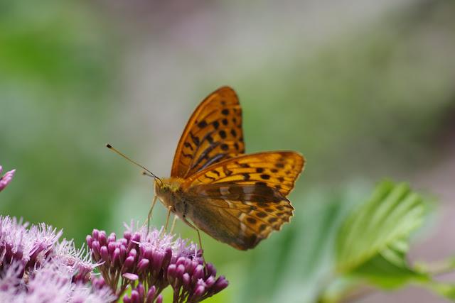 Argynnis paphia (L., 1758), mâle. Chemin de La Rodé, Cocurès, 620 m (Lozère), 6 août 2013. Photo : J.-M. Gayman
