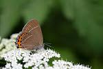Slåensommerfugl, pruni.jpg