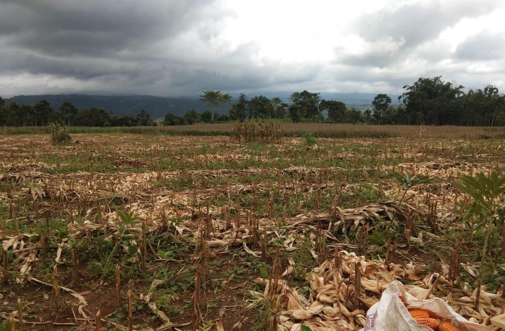 Bersama Penyuluh, Semangat Petani di Botlem Ditunjukkan Saat Panen Jagung Ditengah Pandemi Covid 19