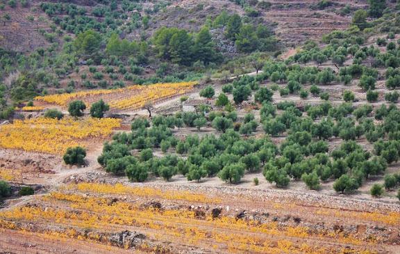 Paisatge oliveres vinyes.jpg