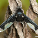 Bee fly, Bombyliidae