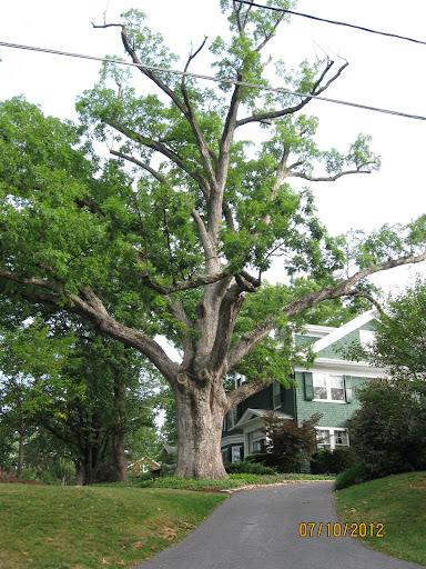 Fifth Heritage Tree: An 80 foot tall White Oak on Willis Street.