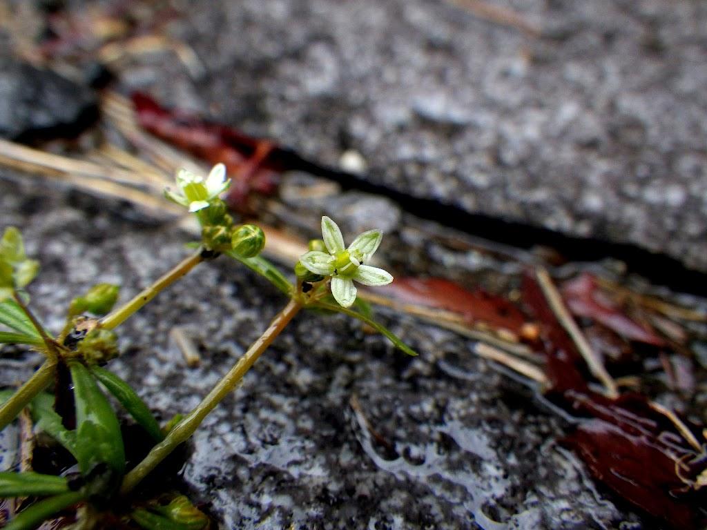 クルマバザクロソウの花