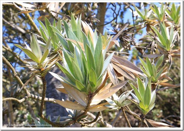 160813_UCSC_Arboretum_Leucadendron-argenteum_009