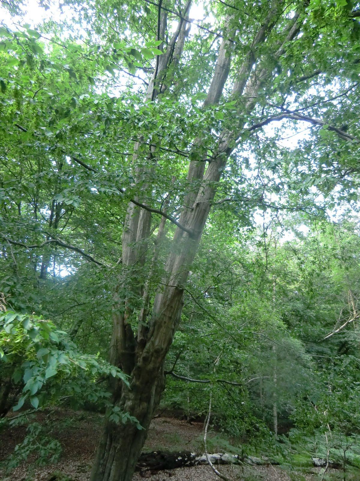CIMG3217 Pollarded hornbeam, Epping Forest
