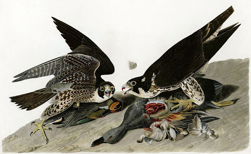 slechtvalk, peregrine falcon, john james audubon